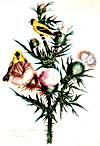 [Goldfinch and thistle] Watercolour by Susanna Moodie, 1869